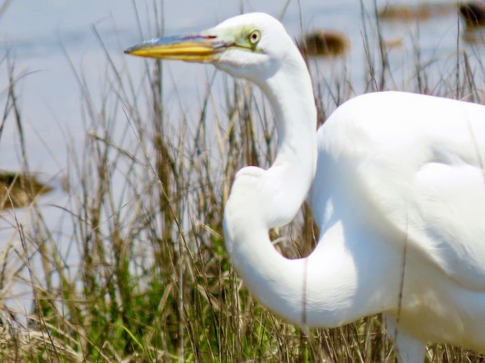Great egret closeup in grass Birds of EyeEm beauty in nature animal themes outdoors nature focus on the foreground Animal Themes Animal Wildlife Vertebrate One Animal White Color Water Bird No People