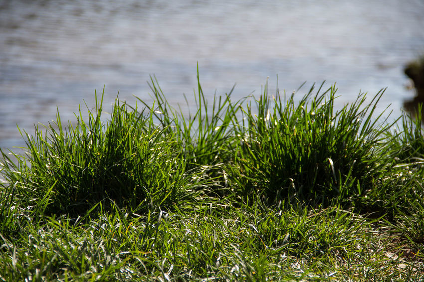 Beauty In Nature Close-up Day Grass Green Color Growth Nature No People Outdoors Tranquility Water
