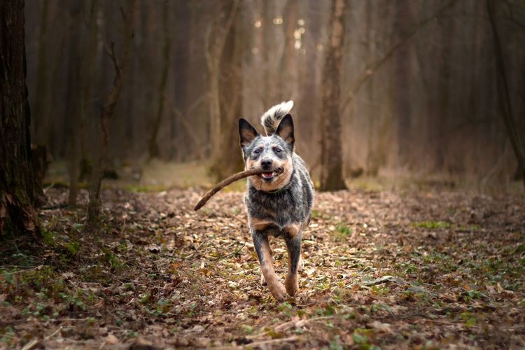 Portrait of dog running in forest