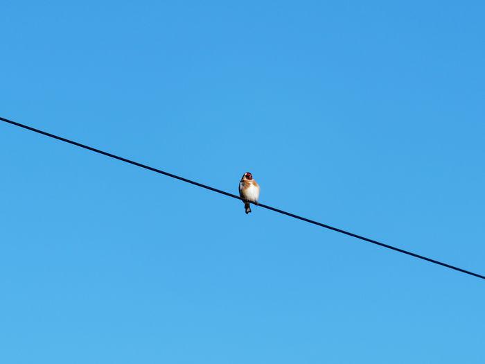 Bird on the wire.. goldfinch