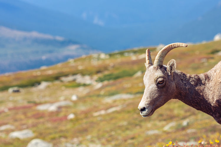 Animal Head  Bighorn Sheep Colorado Day Female Animal Focus On Foreground Herbivorous Mount Evans Mountains Nature One Animal Outdoors Side View Wildlife The Great Outdoors - 2016 EyeEm Awards