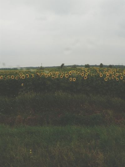 Where do sunflowers turn on a rainy day? When the Sun is not shining? Nature Taking Photos Travel Sunflowers