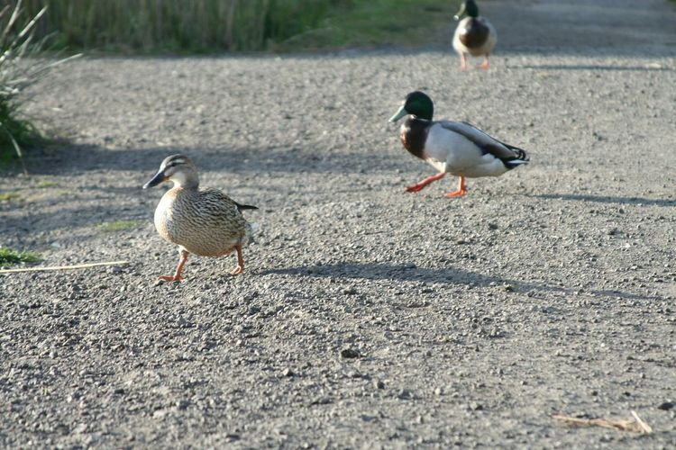 Three Ducks Walking On Road