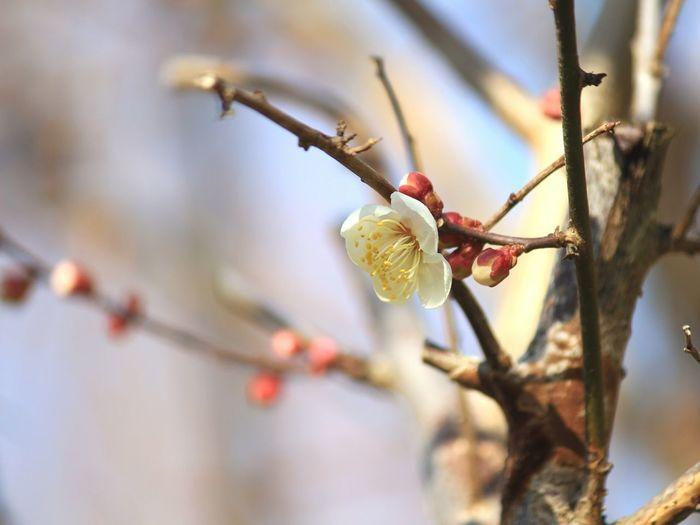 ume tree Spring