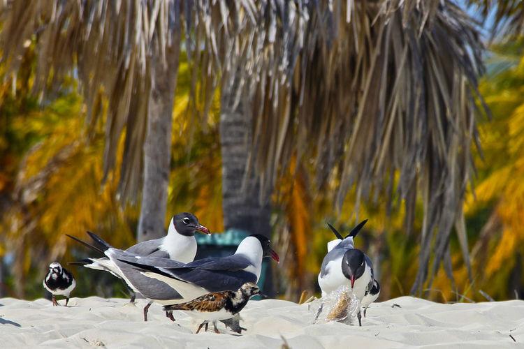 Black-Headed Gulls Perching On Sand At Beach