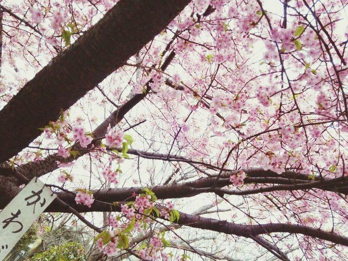 河津桜 Japan Tokyo