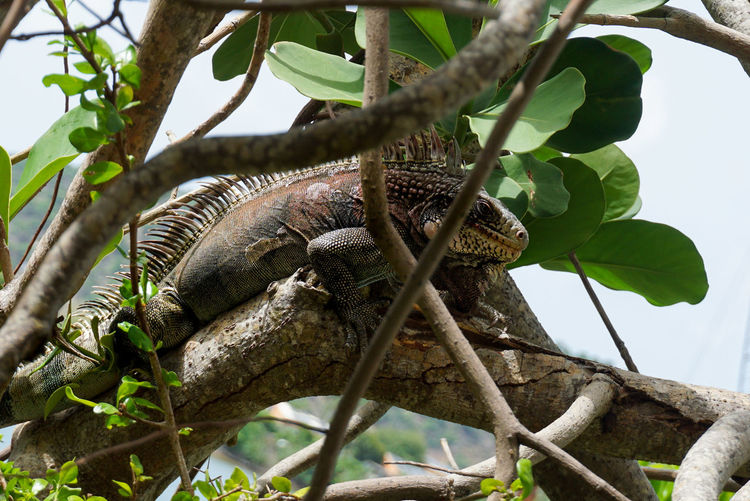 Low angle view of iguana on branch
