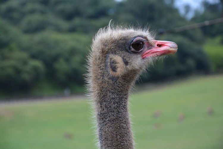 Animal Hair Animal Head  Animal Themes Animals In The Wild Avian Beak Beauty In Nature Bird Close-up Focus On Foreground Nature No People One Animal Ostrich Outdoors Tranquility Wildlife Zoology Miles Away