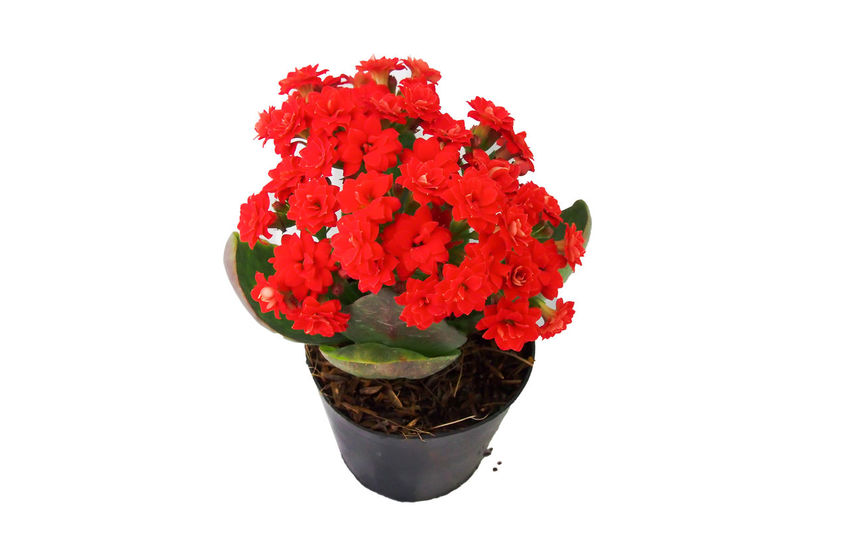 Beautiful red kalanchoe flowers in a pot Backgrounds Beautiful Beauty In Nature Bloom Blossom Botany Close-up Dirt Flower Flower Head Focus Freshness Garden Isolated Kalanchoe Leaves Nature No People Plant Pot Red Spring Summer Tropical White Background