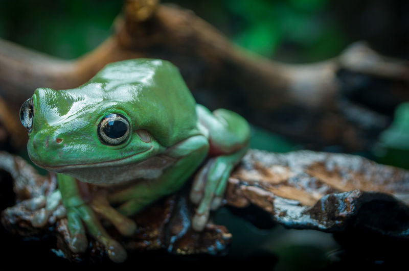 A cute green tree frog stares intently at the camera on a brown rotten wood