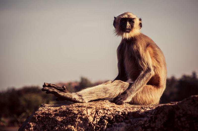 Langur sitting on rock against sky