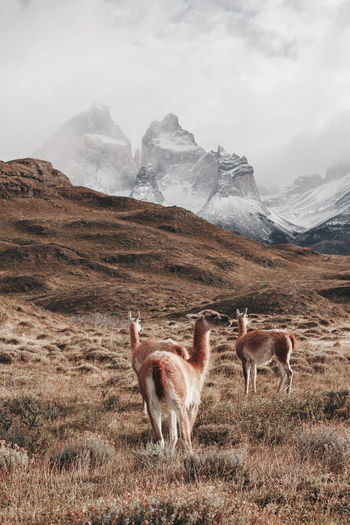 Nature Animal Wildlife Group Of Animals Guanaco Landscape Los Cuernos Torres Del Paine Wildlife