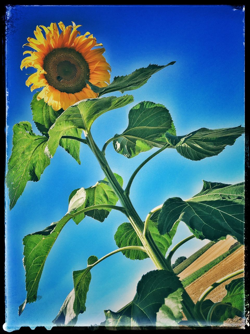 leaf, day, low angle view, growth, blue, no people, sky, outdoors, green color, beauty in nature, nature, freshness, tree, flower, clear sky, sunflower, plant, fragility, scenics, close-up, banana tree, flower head