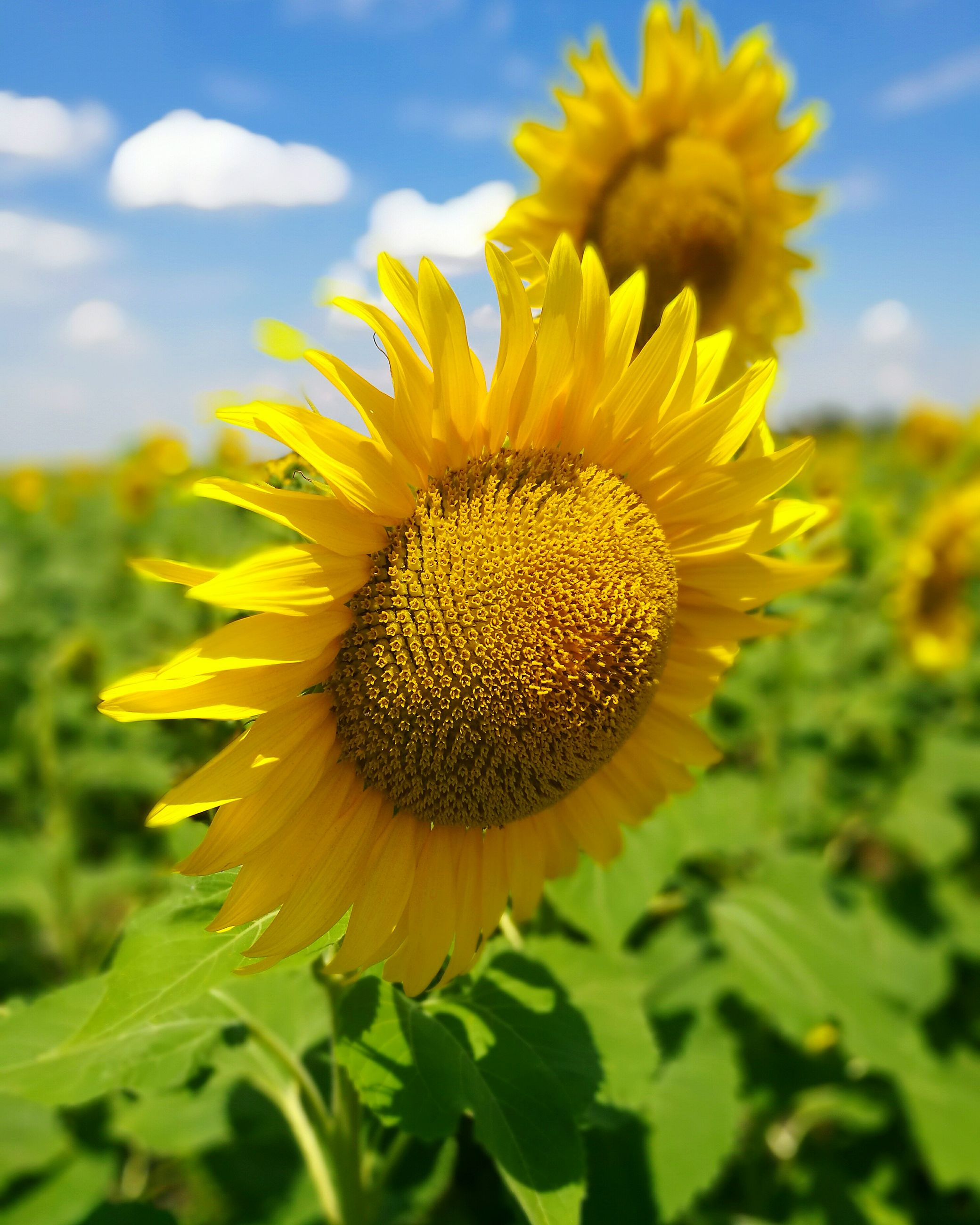 flower, yellow, nature, beauty in nature, growth, fragility, petal, freshness, flower head, close-up, no people, outdoors, plant, pollen, sunflower, day, sky