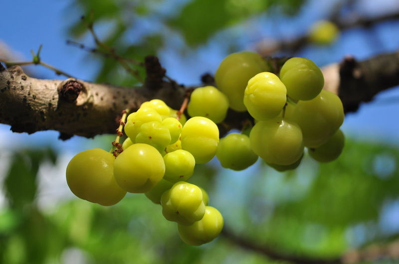 Fruit Food Food And Drink Growth Healthy Eating Plant Close-up Tree Freshness Focus On Foreground Nature Green Color Day No People Beauty In Nature Bunch Grape Wellbeing Agriculture Sunlight Outdoors Winemaking