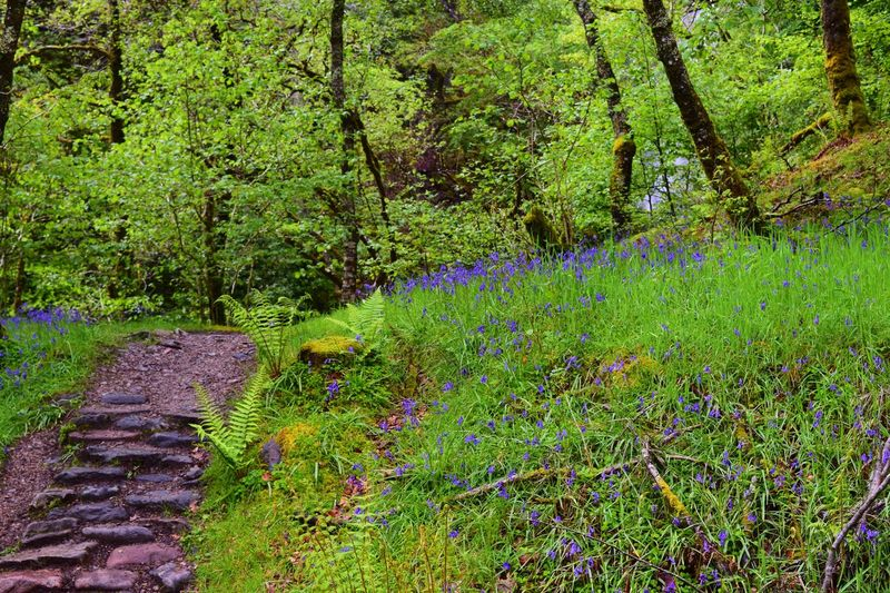 Beauty In Nature Bluebell Bluebell Wood Bluebells Bluebells In The Woods Day Forest Forest Floor Forest Flowers Forest Path Forest Photography Forest Walk Grass Green Color Growth Landscape Nature No People Outdoors Plant Scenics The Way Forward Tranquil Scene Tranquility Tree