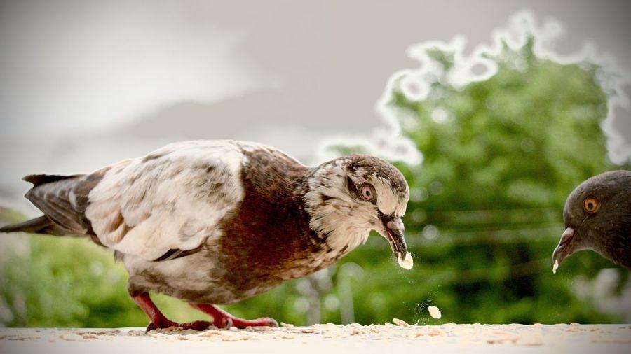 Close-Up Of Pigeons