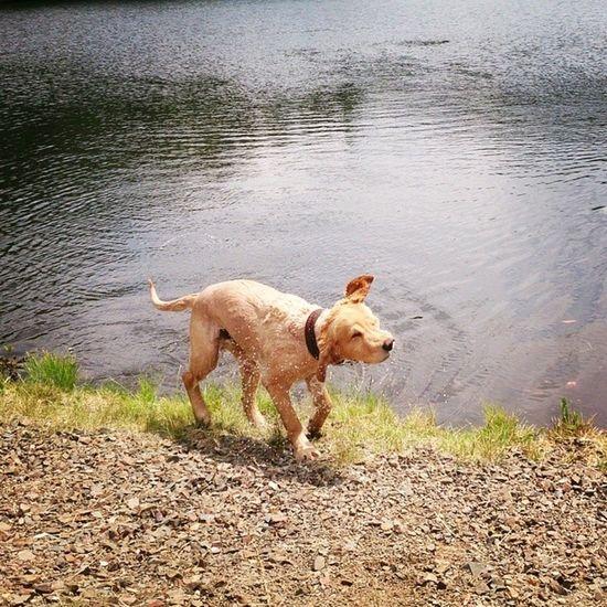 Sam Dog Osterteich MeinHund <3 Baden TrocknenohneHandtuch Schönes Wetter Hashtag XperiaZ Goldener Hund