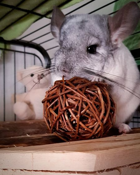 My little monster ❤ Nature Animal Animal Themes Chinchilla Chinchillalove Bestagram Bestanimal My Favorite Photo Myfavoriteanimal Sweet Sweety  EyeEmNewHere Pets Rustic Animal Themes Close-up Animal Nest Cage