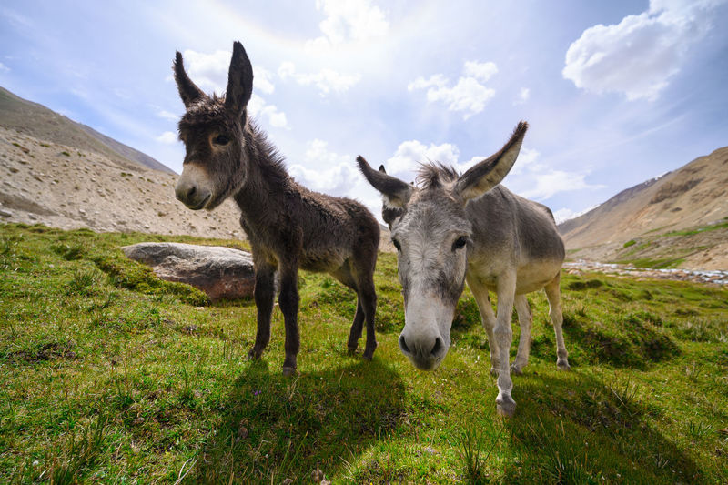 Donkeys on grassland against sky