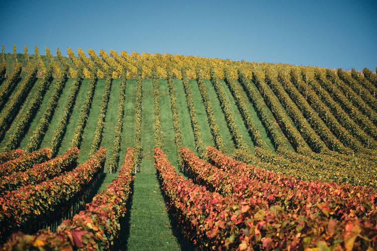 Scenic view of colourful vineyard against sky