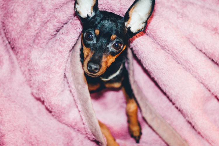 Cute Pets Home Looking At Camera Pink Relaxing Room Animal Animal Body Part Animal Eye Animal Themes Black Dog Blanket Canine Close-up Cozy Cute Dog Domestic Domestic Animals Enjoying Life Face Looking Looking At Camera Mammal Miniature Pinscher Muted Colors No People One Animal Pastel Pastel Colors Pet Pets Pink Color Portrait Puppy Purple Relaxation Small Vertebrate This Is Family The Fashion Photographer - 2018 EyeEm Awards The Creative - 2018 EyeEm Awards