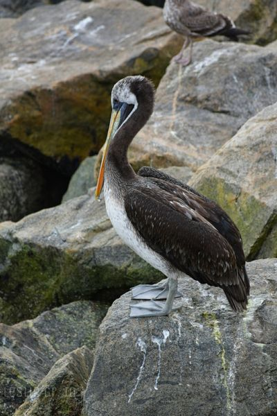 Leslie_Gr_In Rocas Sanantonio Beach Mar Fauna Animals Pelican Pelicano Aves