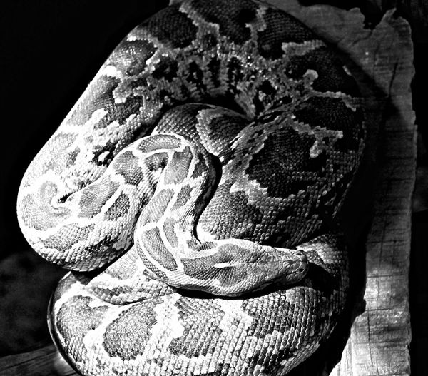 Close-up Black Background Sunlight Beauty In Nature Snakeskin Snake ♥ Snake Head Snakes Are Beautiful Snakes Of Africa Snake Scales Snake Photography Snake! Snakes Reptiles Reptile Photography Reptileslover Reptiles And Amphibians Sleeping Beauty