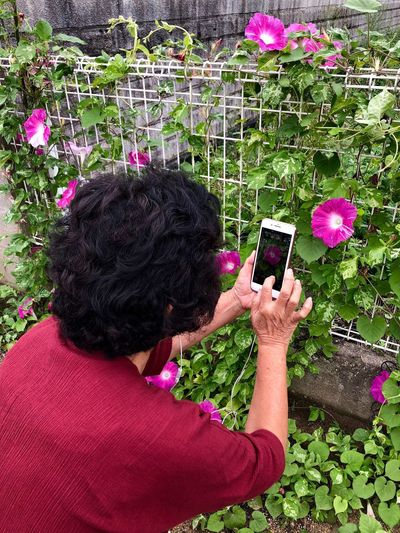 A Woman Shooting a Pink Morning Glory Flower. (180913-181014) Wireless Technology Smart Phone Technology Mobile Phone Portable Information Device Photography Themes Real People One Person Plant Flower Flowering Plant Nature Using Phone Photographing Day Outdoors High Angle View