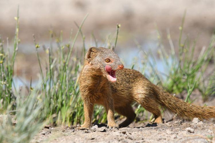 Manguste Animal Themes Animal Animals In The Wild Animal Wildlife Mammal One Animal Vertebrate