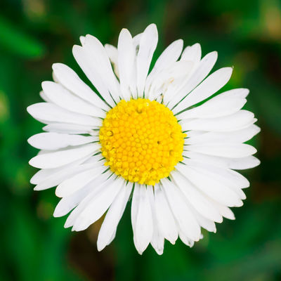1:1 Beauty In Nature Blooming Close-up Day Flower Flower Head Focus On Foreground Fragility Freshness Garden Growth Nature No People Outdoors Petal Plant Spring Square Crop Summer Summer Time  Summertime White Color White Flower Yellow