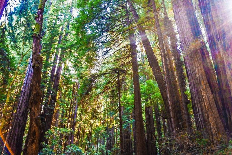Muir Woods National Monument Tree Plant Growth Low Angle View Beauty In Nature Tranquility Land