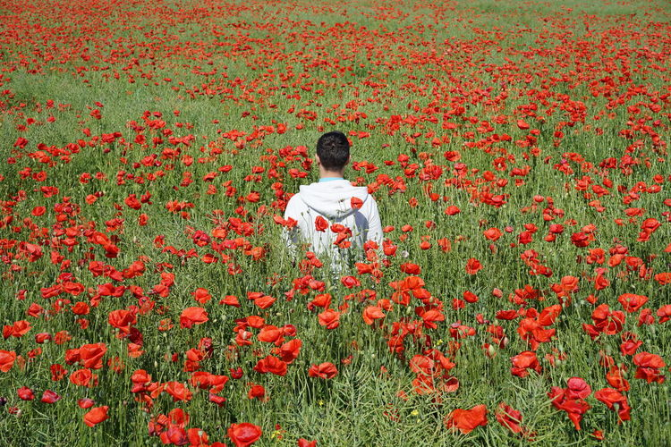 Rear View Of Man In Poppy Field