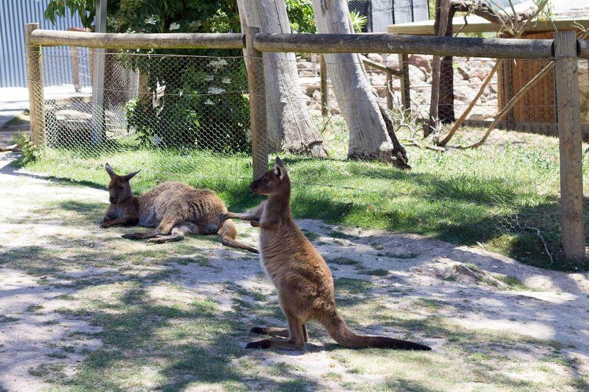 Kangeroo Animal Themes Sunlight Day Mammal Outdoors No People Domestic Animals Cage Nature Australia Ballarat  Wildlife Photography Wildlifephotography Ballarat Wildlife Park Grass Nature One Animal Kangeroo