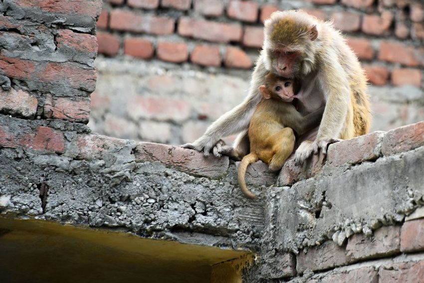 baby monkey drinking milkAnimals In The City Two Monkey Sitting On A Roof Monkey Living In A City Animals In The Wild In The City Urban Animals City Monkey Monkey Eating Animal Body Part Wildlife Photography Monkey Thief Animal Photography Monkeys Monkey Stealing Food Animal Themes Monkey Japanese Macaque Baboon Sitting One Animal Outdoors Day No People Nature Brick Wall A New Beginning