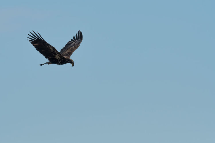 Juvenile bald eagle in Blue Animal Themes Animal Wildlife Animals In The Wild Bald Eagle Beauty In Nature Bird Bird Of Prey Blue Blue Color Clear Sky Day Flying Juvenile Bald Eagle Low Angle View Mid-air Nature No People North American Bald Eagle One Animal Outdoors Sky Spread Wings