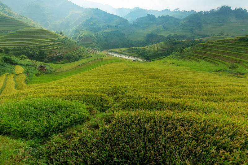 Mu Cang Chai Vietnam The beautiful green terraced rice field. Landscape Scenics - Nature Tranquil Scene Environment Agriculture Green Color Rural Scene Field Beauty In Nature Tranquility Land Plant Mountain Farm Growth No People Rice - Cereal Plant Crop  Rice Paddy Nature Outdoors Rolling Landscape Plantation Rice Paddy Farmland Mu Cang Chai-Yen Bai-Vietnam Land Terraced Field Tree Vietnam Vietnamese Green Yellow View Aerial View National Park Nature ASIA