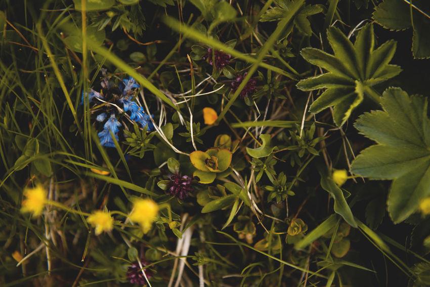 Botanical series: Micrology / Shot with Nikon D800E Ajuga Reptans Alpine Bugleweed Green Kriechender Günsel Micro Plants Potentilla Crantzii Thymus Citriodorus Thymus Pulegioides Zitronenthymian Ajuga Alpine Cinquefoil Alps Botanical Bugle  Close-up Fingerkraut Growth Lemon Thyme Macro Micrology Mini Mountain Plants Selective Focus