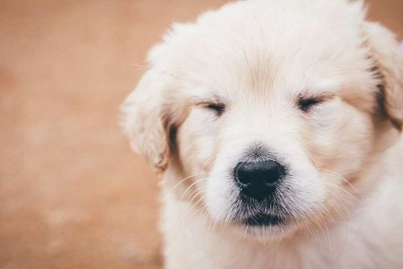 Close-Up Of Golden Retriever With Eyes Closed