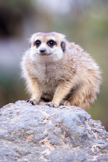 EyeEm Selects One Animal Animals In The Wild Animal Wildlife Animal Themes Looking At Camera Mammal Day Portrait Outdoors No People Meerkat Nature Close-up