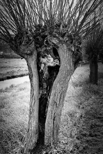 Hollow Willow Tree Naga Monochrome Black & White I See Faces