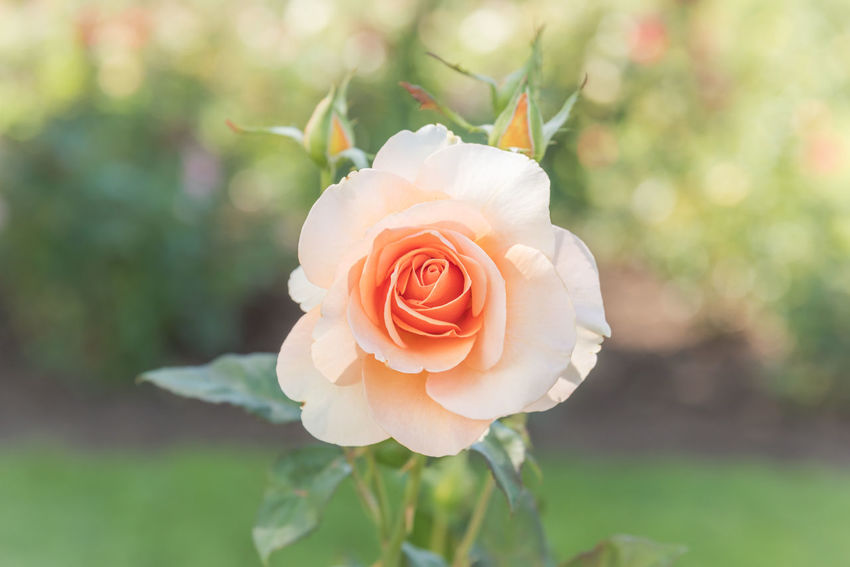 Close up peach rose blooming in summer garden Afternoon Beautiful Love Romance Romantic September Soft Sparkling Beauty In Nature Bokeh Photography Close-up Flora Floral Flower Focus On Foreground Garden Outdoors Pastel Peach Rose Petal Plant Rose🌹 Single Rose Summer Sunshine