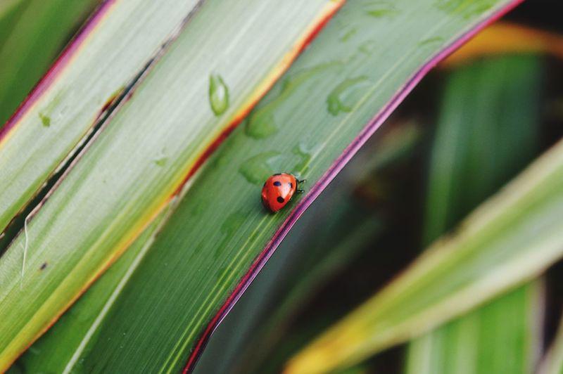 Macro ladybird on grass
