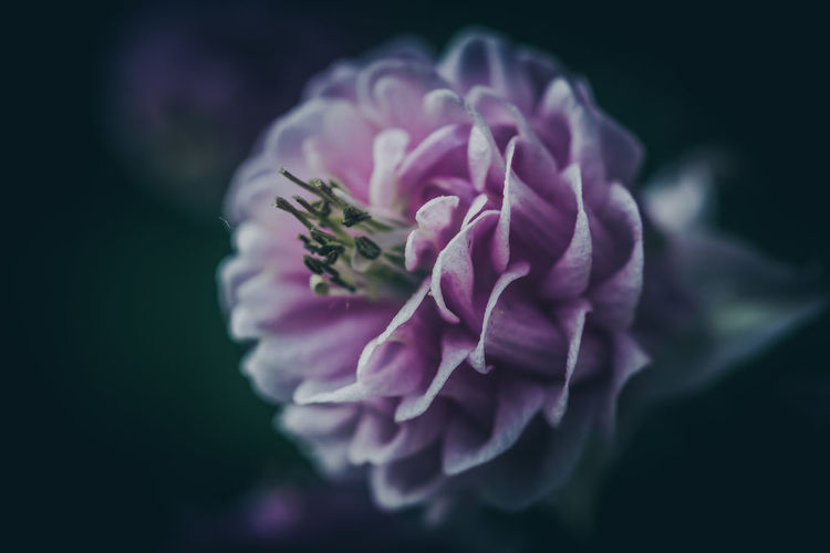Moody EyeEm Nature Lover EyeEm Nature Collection Nature Photography Nature_collection Nature EyeEm Nature Lovers Flower Flowering Plant Plant Freshness Fragility Vulnerability  Beauty In Nature Petal Close-up Inflorescence Flower Head Growth Selective Focus No People Focus On Foreground Pink Color Outdoors Botany Purple Pollen Black Background The Great Outdoors - 2019 EyeEm Awards