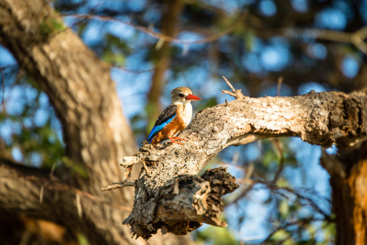 Kingfisher perching on a tree