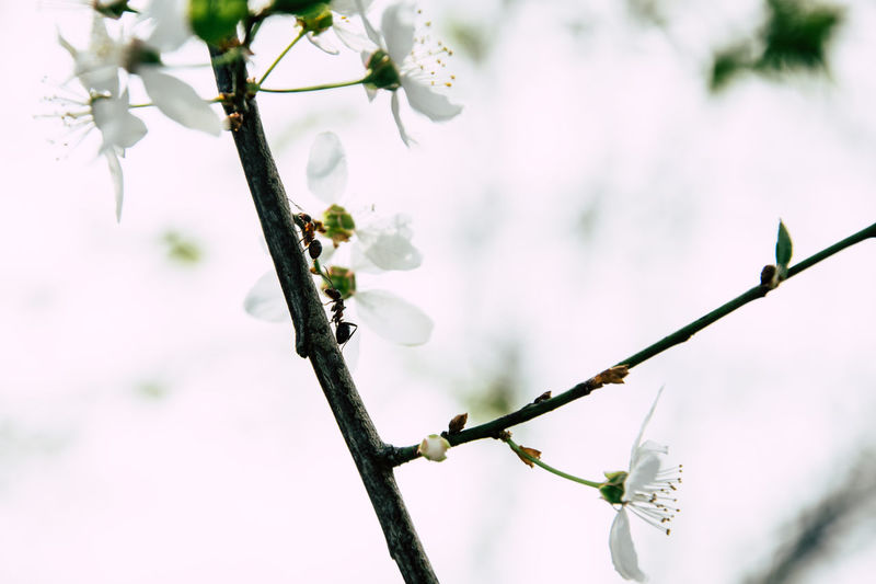 Spring Tree First Eyeem Photo Ant Ants Insect EyeEmNewHere EyeEm Nature Lover Nature Nature Photography Outdoors Tree Branch Flower Springtime Close-up Sky Plant Blooming In Bloom Cherry Blossom Cherry Tree Blossom Fruit Tree