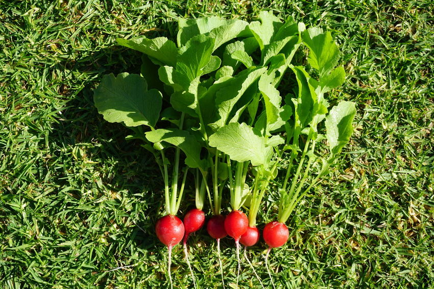 Radish Homegrown Red Leaf Healthy Lifestyle Vegetable Close-up Grass Green Color Food And Drink Vegetable Garden Root Vegetable