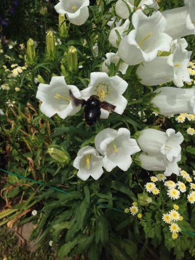 Blaue Holzbiene Glockenblume Black Bee Xylocopaviolacea Xylocopa Violette Bee Flying Bee Insect Wood Bee Flower Bellflower Bee Fly Holzbiene Garden Garden Photography