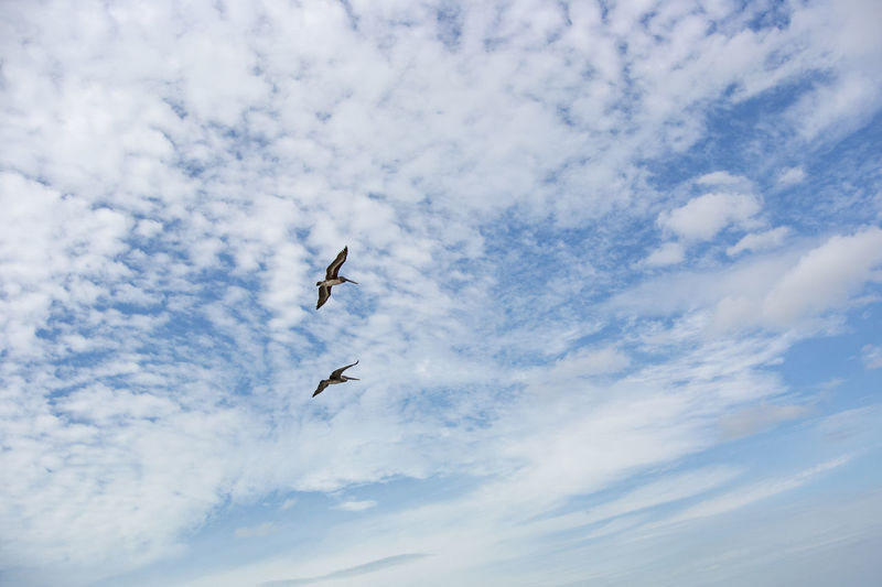 Low angle view of pelicans flying against sky