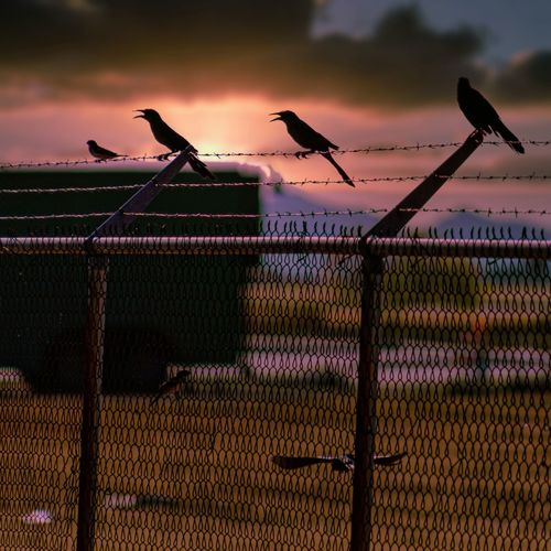 Birds perching on fence against sunset sky